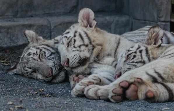 Картинка кошка, отдых, сон, котята, белый тигр, тигрята, тигрёнок, детёныши, троица