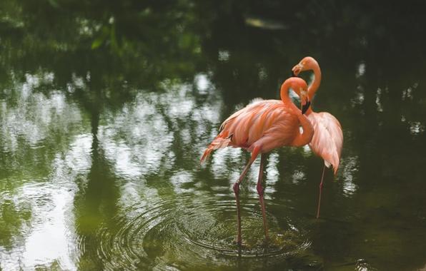 Картинка вода, птицы, фламинго