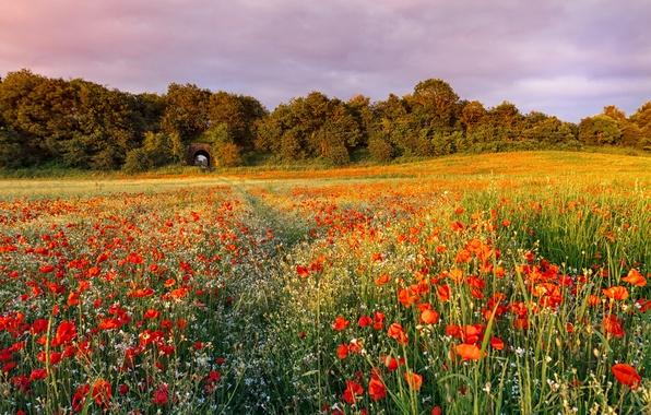Картинка лето, трава, деревья, закат, цветы, природа, маки, Поле, вечер, красные, тропинка, полевые