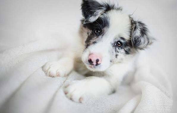 Картинка взгляд, морда, собака, щенок, Бордер-колли