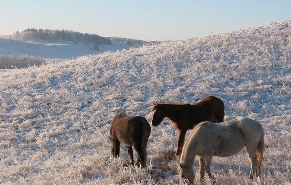 Картинка зима, снег, степь, конь, лошадь, пастбище, мороз, сопка, табун, казахстан, кокшетау, выгон HD обои для …