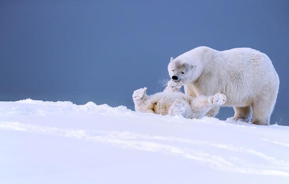Картинка зима, снег, игра, медведи, Аляска, медвежонок, детёныш, белые медведи, медведица, забава