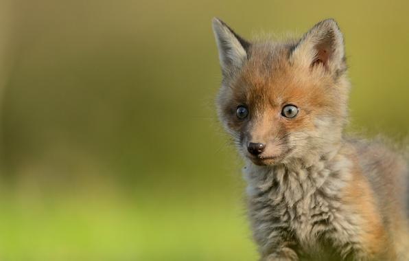 Картинка взгляд, малыш, мордочка, лиса, детёныш, лисёнок