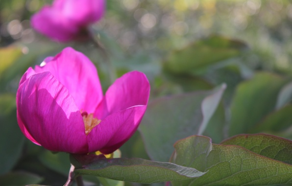 Картинка цветы, розовый, весна, боке, пион