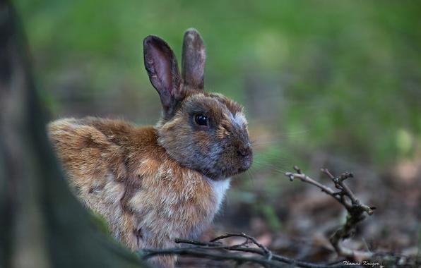 Картинка ветки, кролик, ушки