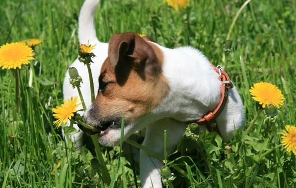 Картинка собаки, трава, радость, настроение, собака, щенок, прогулка, одуванчики, джек рассел терьер