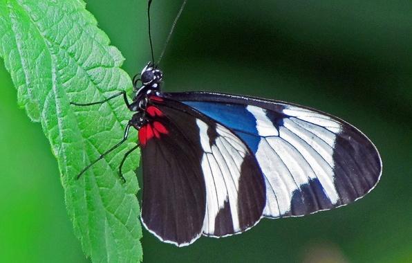 Картинка бабочка, Макро, насекомое, butterfly, insect, Macro, Sapho Longwing Butterfly