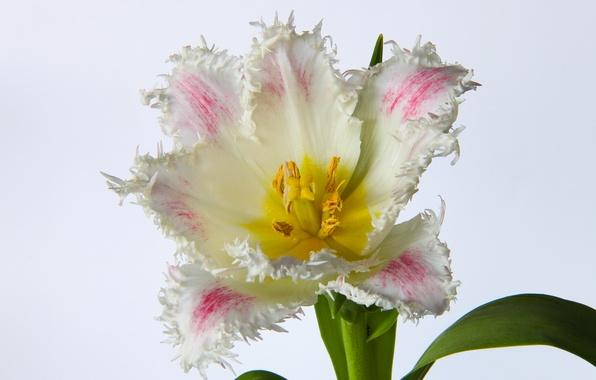Картинка фото, Цветы, Тюльпан