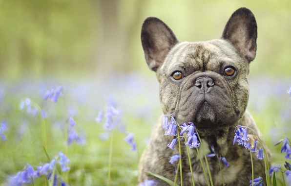 Картинка взгляд, морда, цветы, собака, бульдог, колокольчики, боке, Французский бульдог