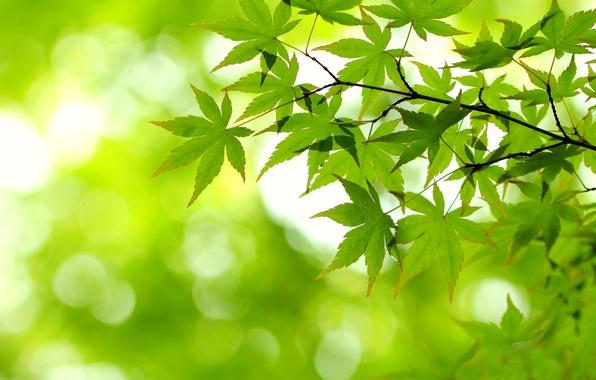 Картинка листья, свет, зеленый, ветка, клен