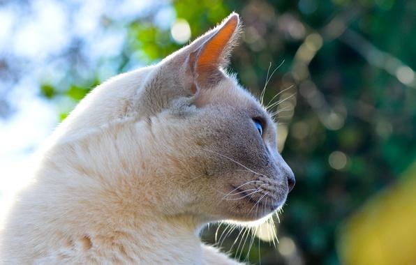 Фото обои кошка, взгляд, усы, фон, кот