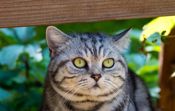 Картинка кошка, глаза, кот, усы, взгляд, морда, серый, зеленые, полосатый