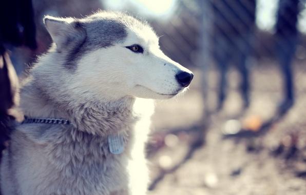 Картинка взгляд, морда, парк, собака, хаски, dog, husky