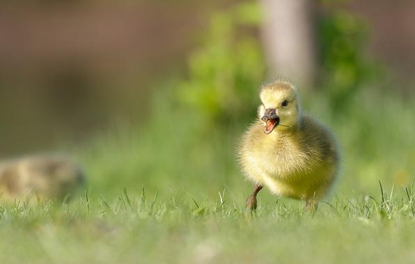 Картинка малыш, утёнок, птенец, боке, Канадская казарка