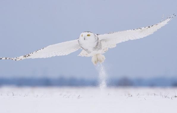 Картинка зима, снег, полет, сова, птица, белая, полярная