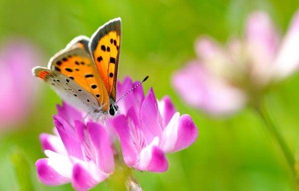 Картинка цветок, лето, макро, природа, розовый, бабочка, клевер, насекомое, ярко