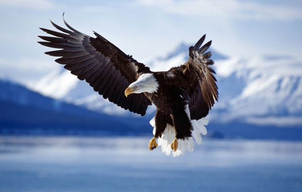 Картинка животные, птицы, птица, крылья, орёл, орлы, фото животных