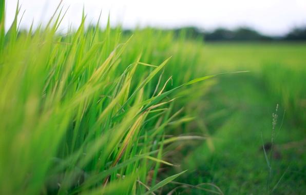 Картинка зелень, поле, трава, листья, макро, зеленый, фон, widescreen, обои, размытие, wallpaper, листочки, field, широкоформатные, background, ...