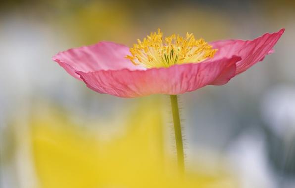 Картинка цветок, обои, лепестки, стебель, тычинки