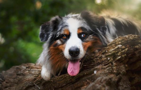 Картинка язык, взгляд, морда, собака, бревно, Австралийская овчарка, Аусси