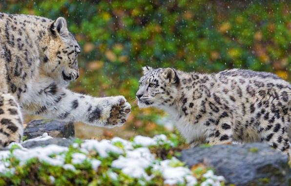 Snow Leopard Обои Скачать