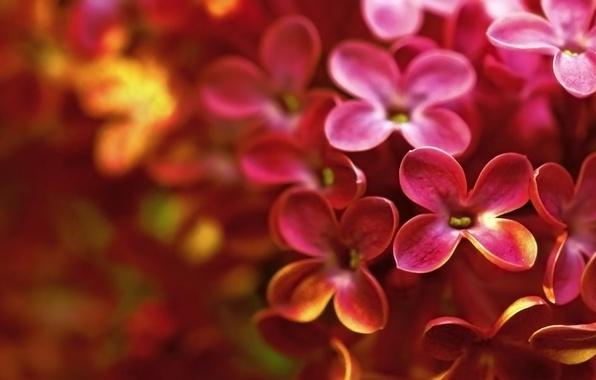 Картинка макро, цветы, весна, ярко, сирень