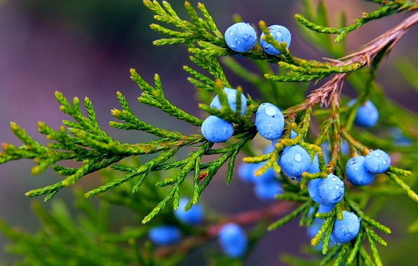 Картинка осень, капли, макро, природа, ягоды, растение, ветка, плоды, можжевельник