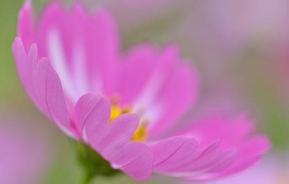 Картинка цветок, лепестки, космея