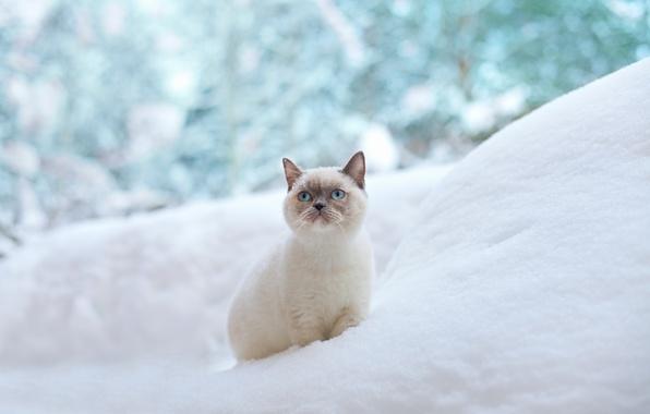 Картинка зима, кошка, снег, голубые глаза, сугроб