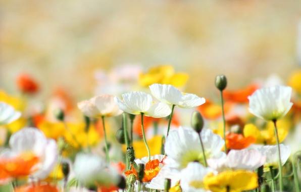 Картинка лето, солнце, свет, цветы, природа, тепло, поляна, маки, желтые, белые, ярко, оранжевые
