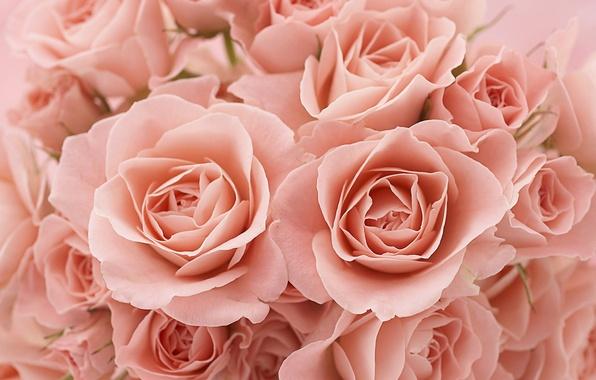 Картинка макро, розы, лепестки, бутоны