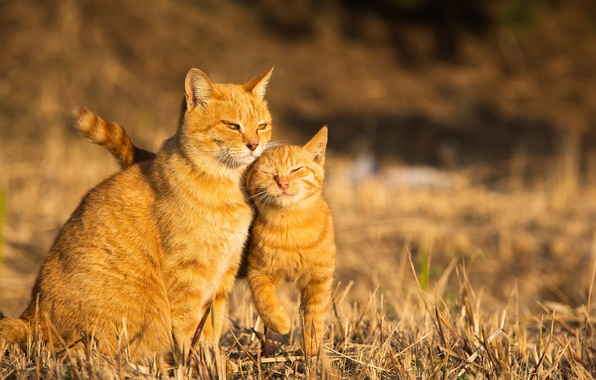 Фото обои кошка, лето, котенок, фон, рыжая