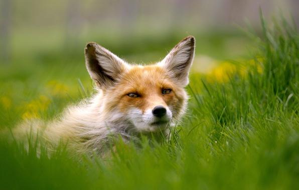 Картинка трава, взгляд, лиса, рыжая