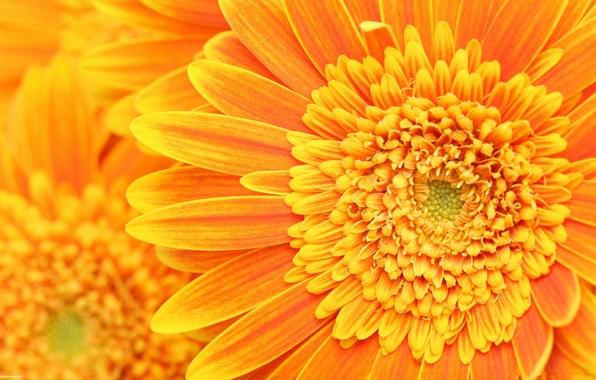 Картинка оранжевый, лепестки, тычинки, пестики