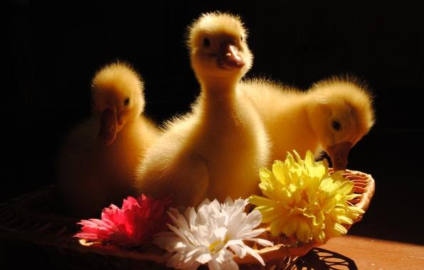 Картинка животные, цветы, птицы, гусята
