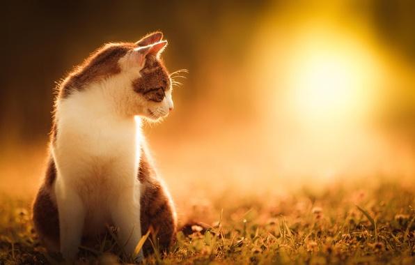 Картинка кошка, лето, трава, кот, солнце, природа