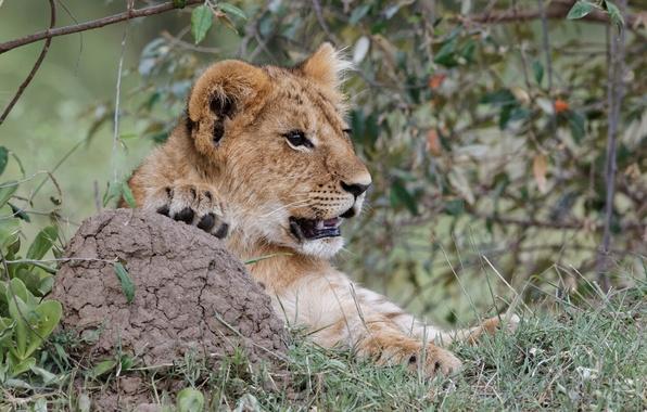 Картинка кошка, трава, взгляд, морда, лев, детёныш, котёнок, львёнок