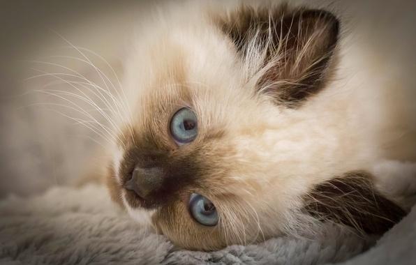 Картинка взгляд, мордочка, котёнок, голубые глаза