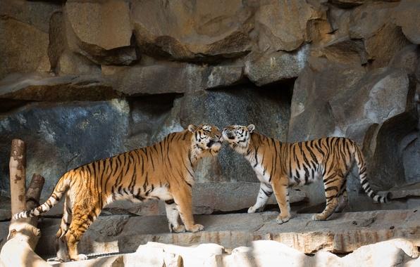 Картинка кошки, тигр, камни, пара, амурский