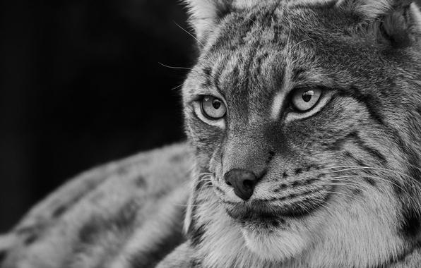 Картинка глаза, взгляд, хищник, рысь