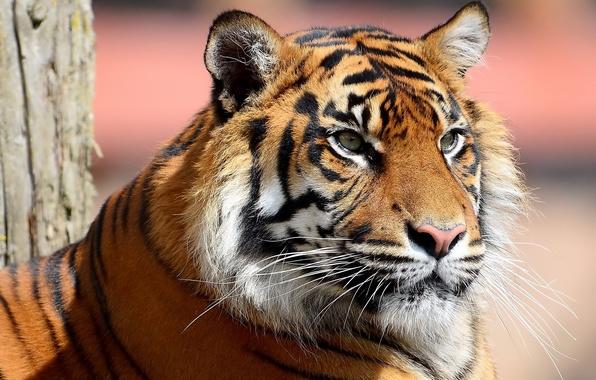 Картинка усы, морда, полоски, тигр, смотрит