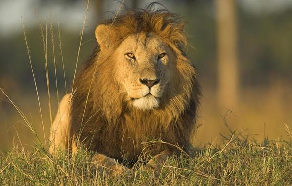 Картинка животные, трава, природа, хищники, лев, дикие кошки, львы