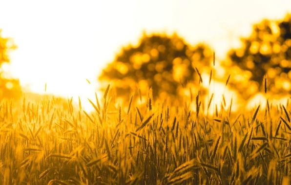 Пшеница поле фон