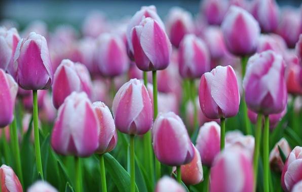 Фото обои много, бутоны, тюльпаны