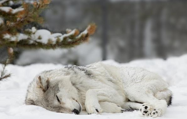 Картинка лес, снег, волк, Зима, ель, спит, forest, nature, winter, snow, wolf, cute, sleaping