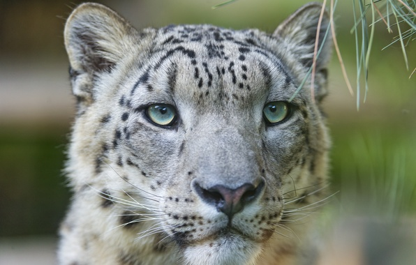 Картинка кошка, морда, ирбис, снежный барс, ©Tambako The Jaguar