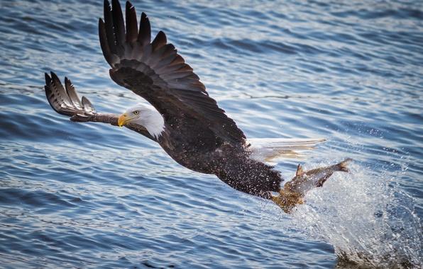 Картинка вода, полет, брызги, река, птица, рыбалка, крылья, рыба, хищник, добыча, белоголовый орлан