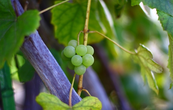 Картинка осень, листья, макро, природа, зеленый, куст, ветка, виноград, лоза
