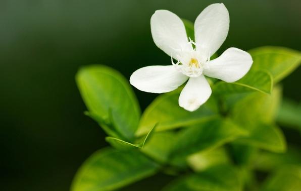 Картинка зелень, белый, цветок, макро, цветы, природа, зеленый, фокус, лепестки, лепесток, цветочки, широкоформатные обои, обои на …