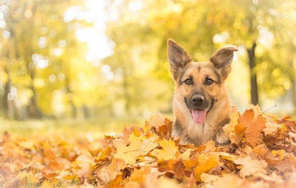 Картинка осень, взгляд, морда, листья, собака, овчарка, Немецкая овчарка